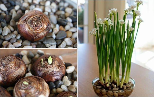 Củ hoa giống tốt cho cây nảy mầm nhanh