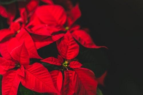 Những cây cảnh lá đỏ mang lại may mắn