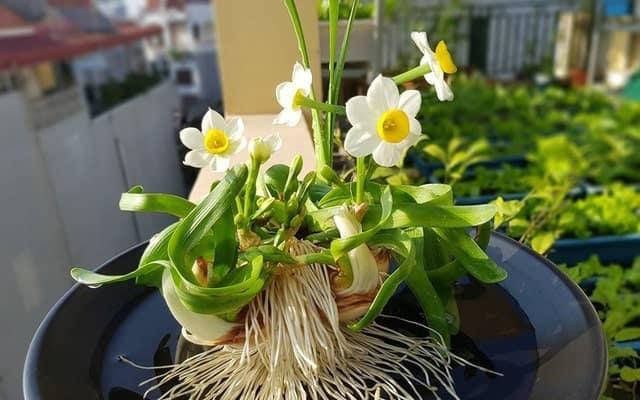 Ý nghĩa cây hoa thủy tiên