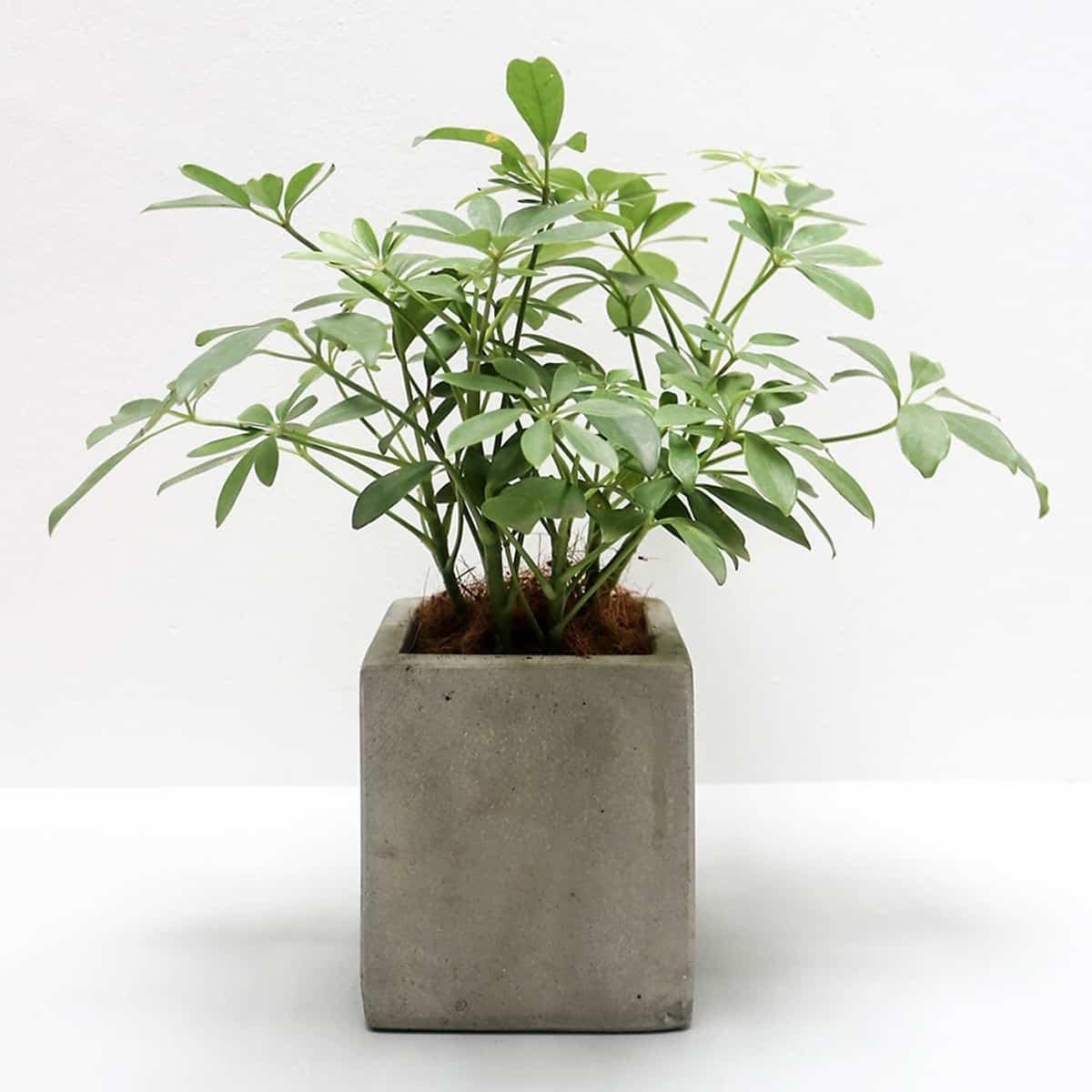 Cây ngũ gia bì thích hợp trồng trong nhà