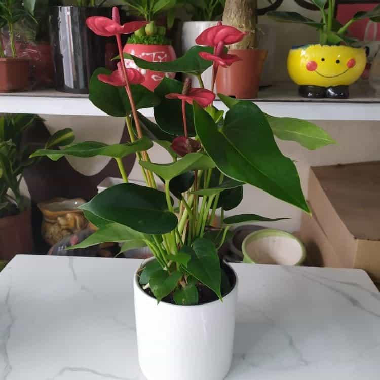 Cây hồng môn lá đỏ trang trí trong nhà