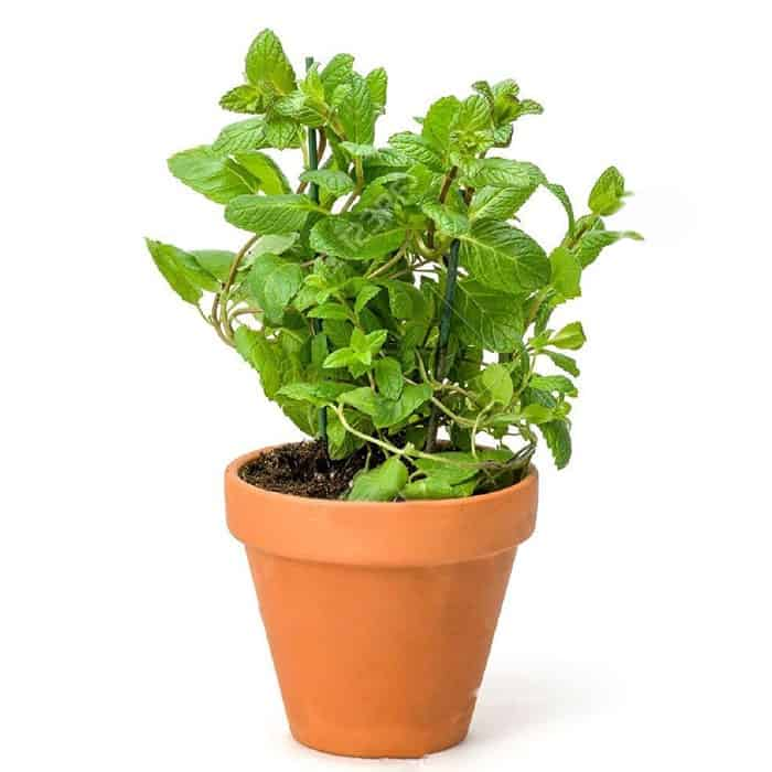 Trồng cây húng lũi tốt cho sức khỏe