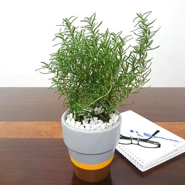 Cây hương thảo để trên bàn đẹp