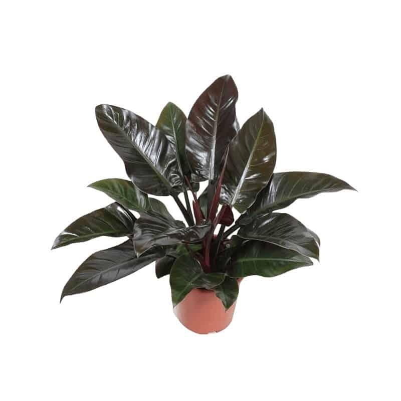 Cây trầu bá đế vương lá đỏ trồng trong nhà