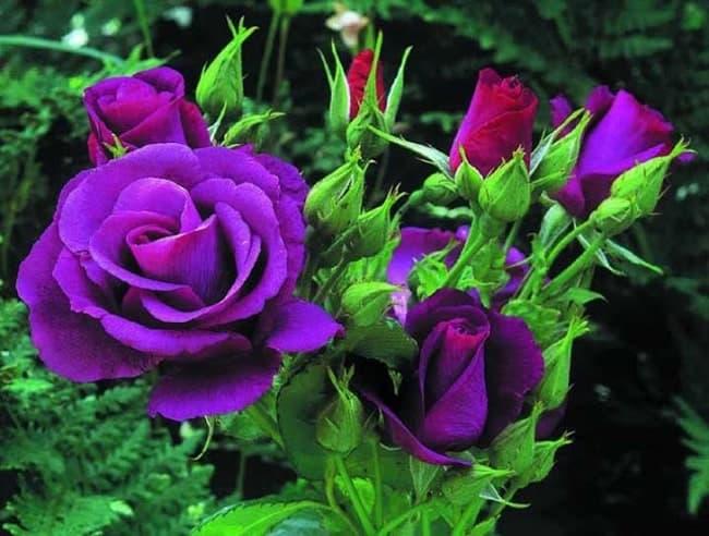 Hoa hồng violet màu tím chung thủy