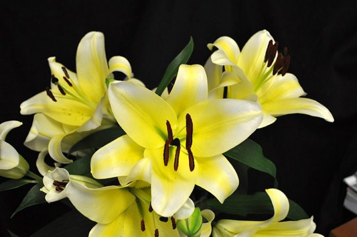 Cây Hoa Ly Ù Màu Vàng Cực Đẹp