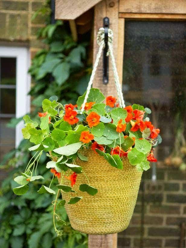 Cây sen cạn trồng trong nhà