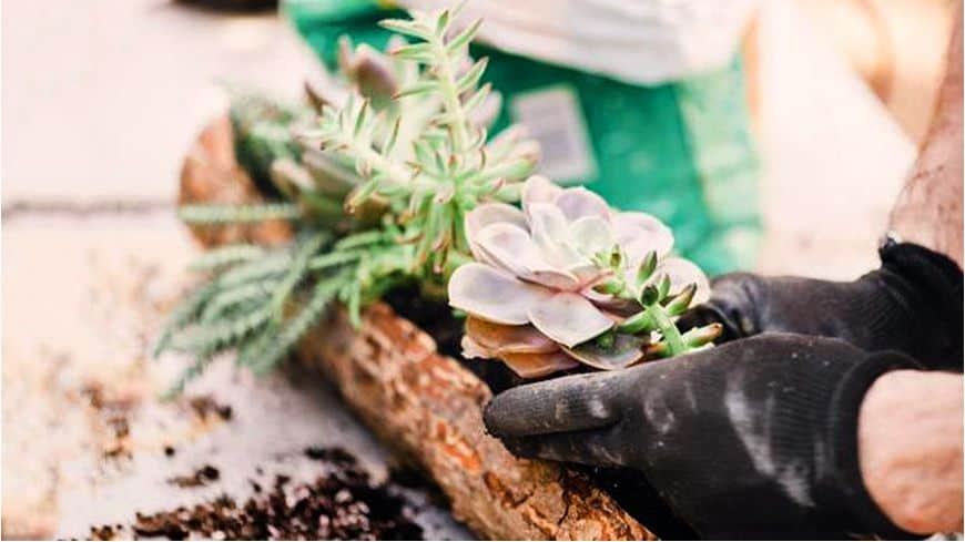 Trồng và chăm sóc cây sen đá hiệu quả