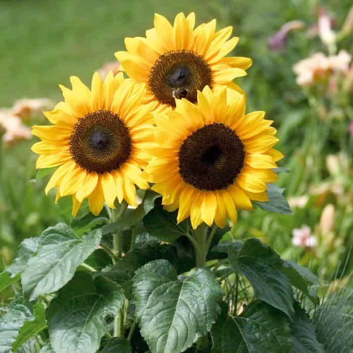 Hoa hướng dương dưới nắng