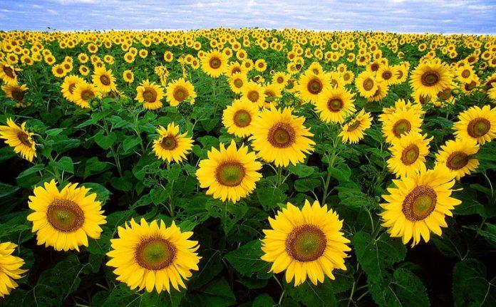 Ý nghĩa hoa hướng dương trong tinh yêu và cuộc sống