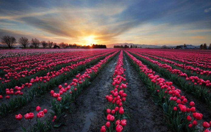 Cách trồng hoa tulip hiệu quả