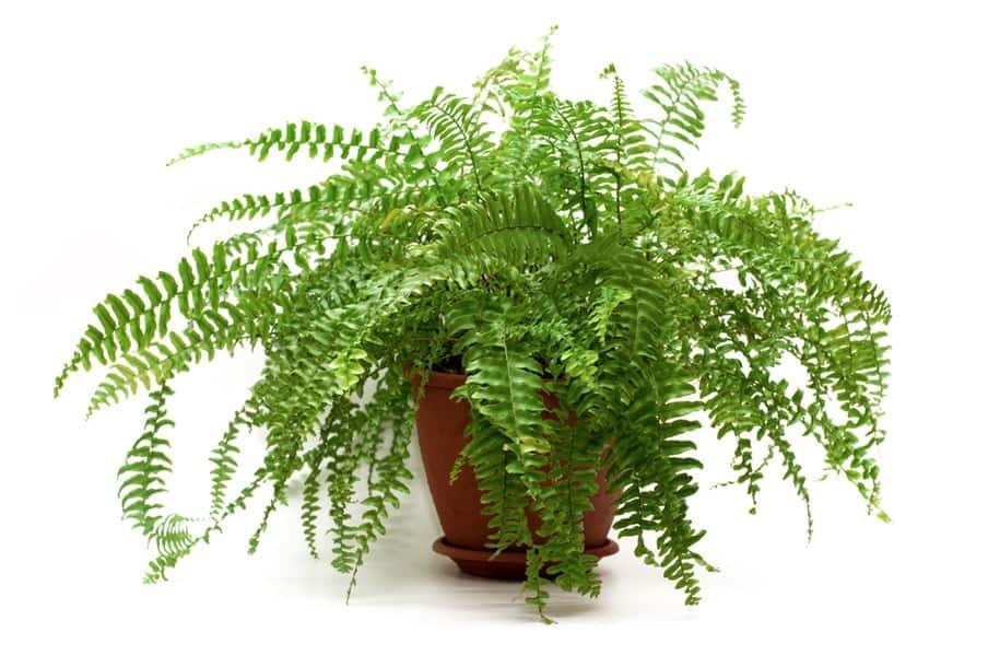 Cây dương xỉ lọc không khí trong nhà