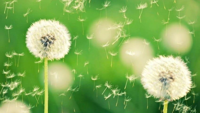 Hoa bồ công anh - Loài hoa tượng trưng cho nỗi buồn
