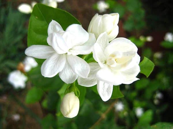 Hoa nhài với hương thơm ngát