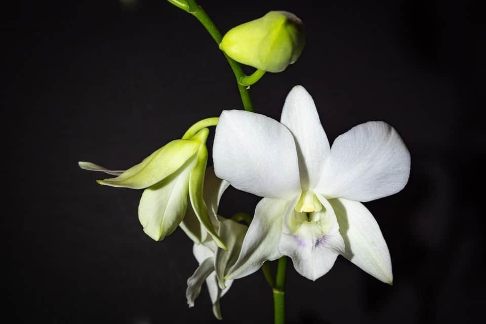 Phong lan trắng - Hoàng hậu của các loài hoa