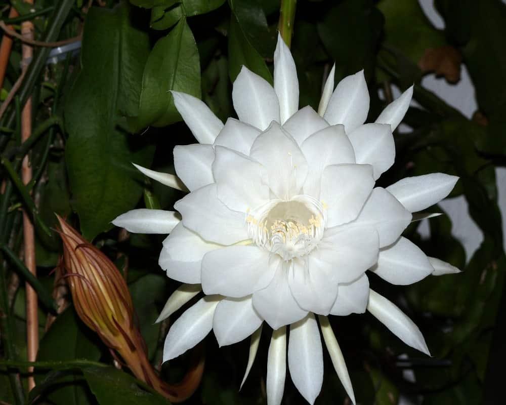 Nét đẹp của hoa quỳnh trong đêm