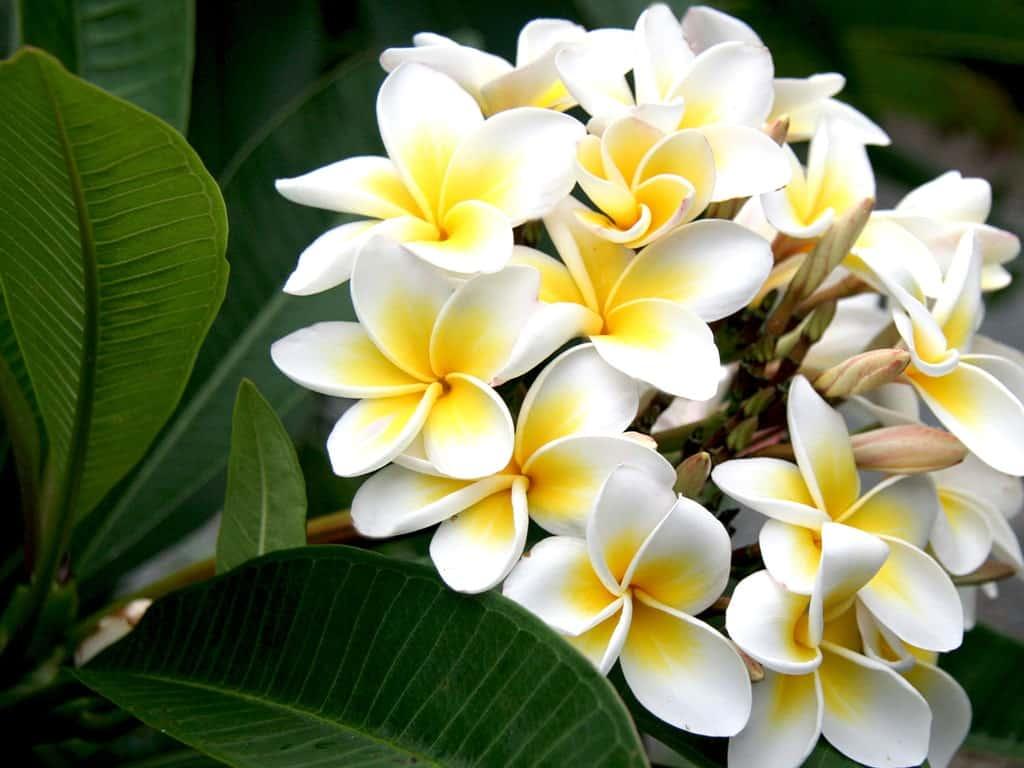 Hoa sứ màu trắng với hương thom dịu