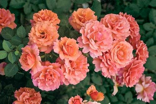 """Mùa cam tuyệt đẹp của hoa hồng """"Easy Do It"""""""