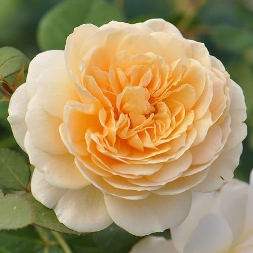 Vẻ ngoài cùng màu sắc tuyệt đẹp của hoa hồng Teasing Georgia