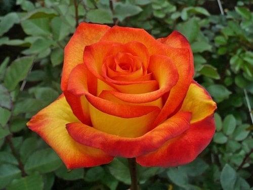 Hoa hồng cam thay cho những lời yêu thương