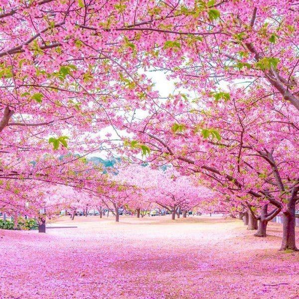 Cung đường hoa anh đào đẹp tự nhiên