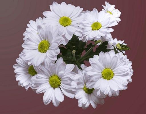 Hình ảnh hoa cúc đẹp nhất