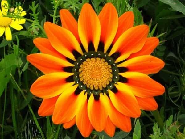 Bông hoa cúc Gazania đẹp nhất