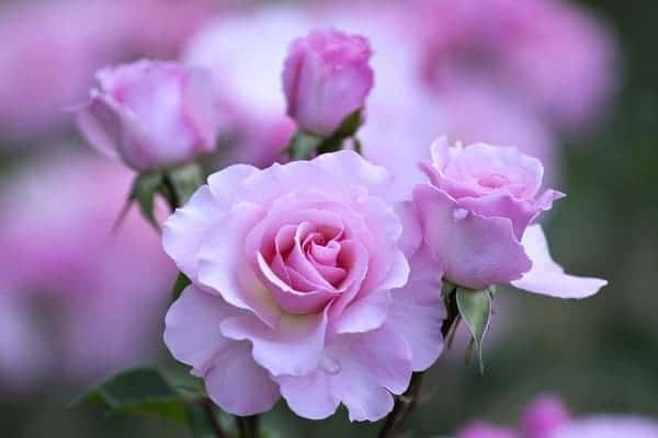 Hoa hồng khoe sắc không tì vết
