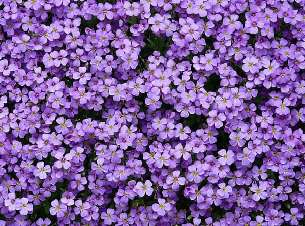 Hình ảnh chùm hoa lưu ly đẹp tự nhiên