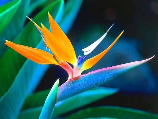 Hình ảnh hoa thiên điểu tuyệt đẹp