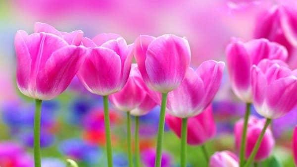 Hình ảnh hoa tulip đẹp ngoài thiên nhiên