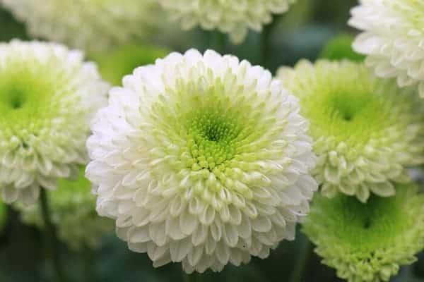 Hoa cúc trắng, vàng, tím được sử dụng nhiều nhất làm hoa chia buồn