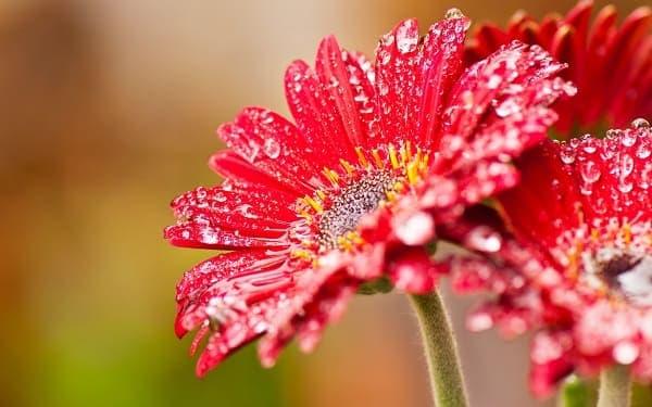 Hoa đồng tiền màu đỏ đẹp sau cơn mưa