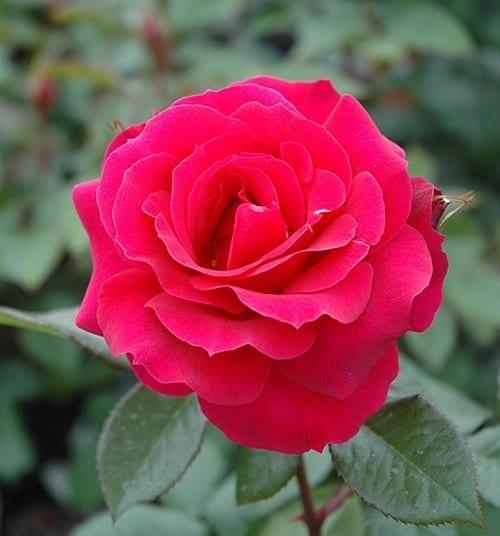 Màu hồng quyến rủ của hoa hồng Frankly Scarlet