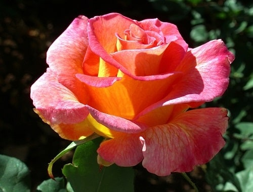 Màu sắc đặc biệt của hoa hồng Mardi Gras