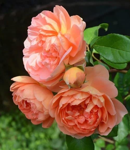 Hoa hồng Pat Austin mùi như hương trà