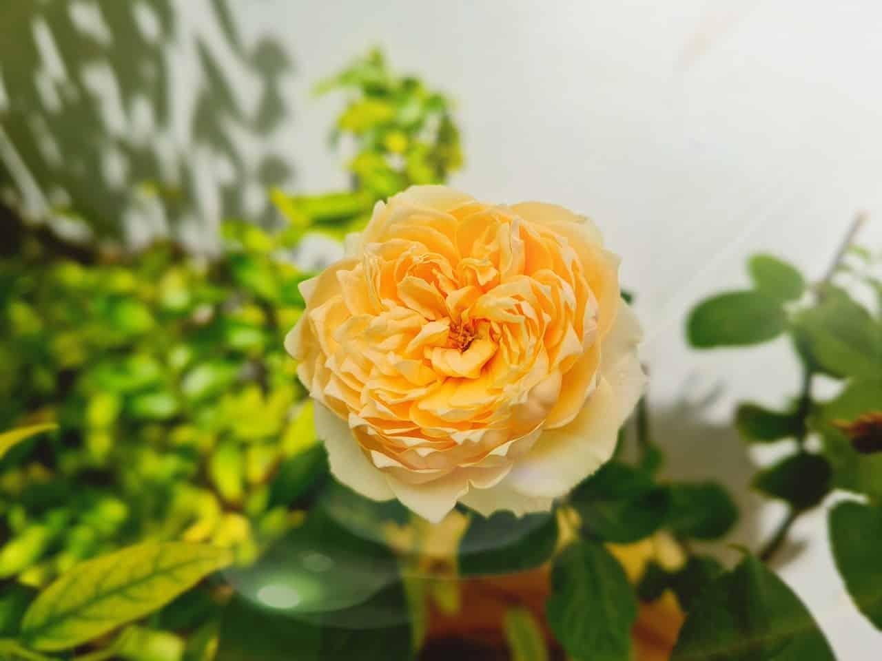 Cánh hồng cam tặng người thân, đồng nghiệp