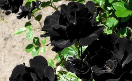Mệnh mộc hợp với màu đen