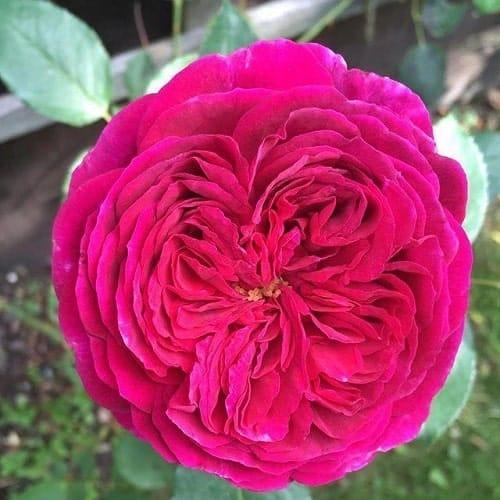 Bông hồng Falstaff màu hồng quyến rũ