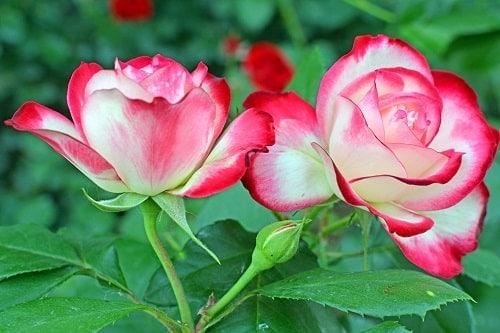 Mẫu hoa hồng đặc biệt với cánh hoa trắng viền đỏ