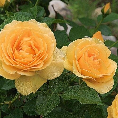 Những bông hồng Julia Child màu vàng quý phái