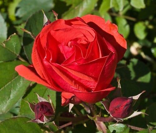 Hoa hồng ngoại Mordem Fireglow màu đỏ rực