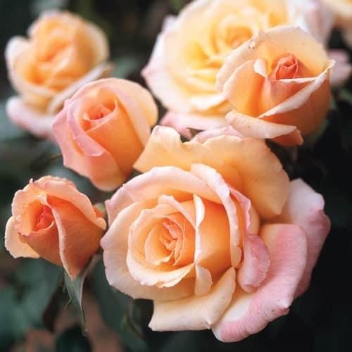 Hoa hồng ngoại Tahitian Sunset có màu như mặt trời lặn