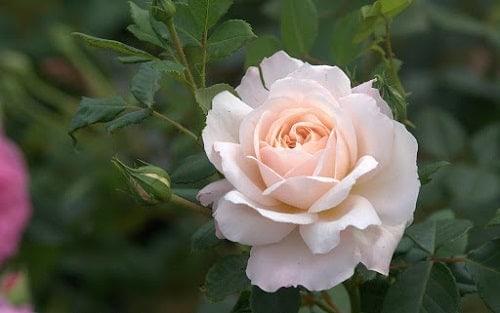 Trồng hoa hồng màu trắng là thích hợp nhất