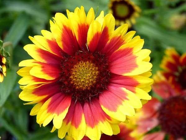 Hoa hướng dương - Hình ảnh thiên nhiên hoa lá đẹp
