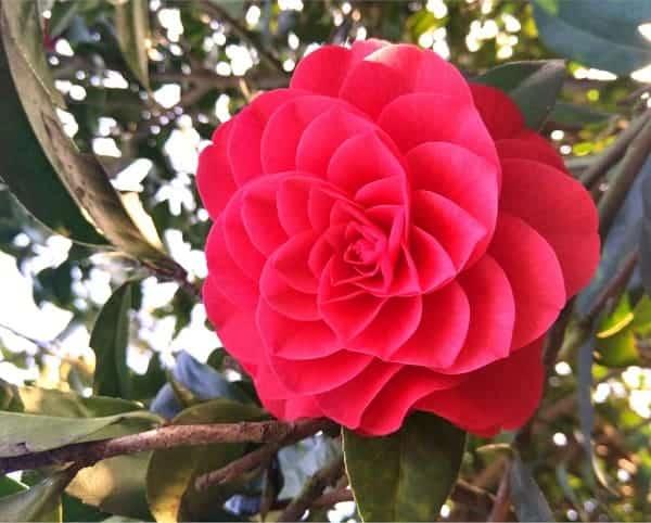 Hoa trà my đỏ đẹp không tỳ vết