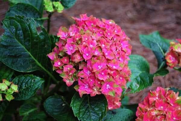 Nét đẹp tự nhiên của hoa cẩm tú cầu