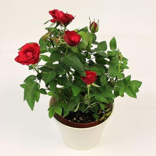 Đừng ngại chọn hoa hồng đỏ nhé