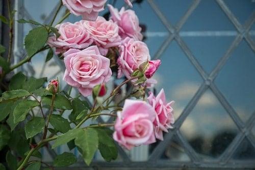 Trồng hoa hồng ngoài vườn đơn giản