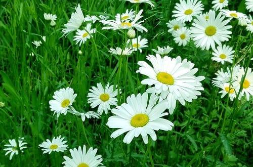 Ý nghĩa hoa cúc trắng trong cuộc sống
